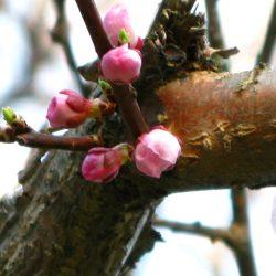 Fleurl d'Abricot