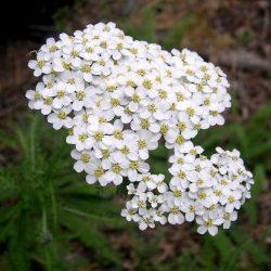 Fleur d'Achillée blanche